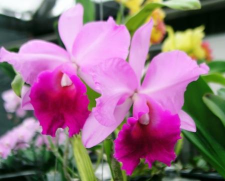 Cattleya pink