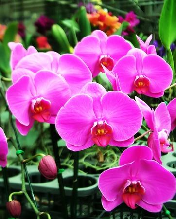 Vanda orchid pink