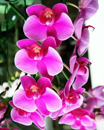 vanda: Vanda orchids Stock Photo