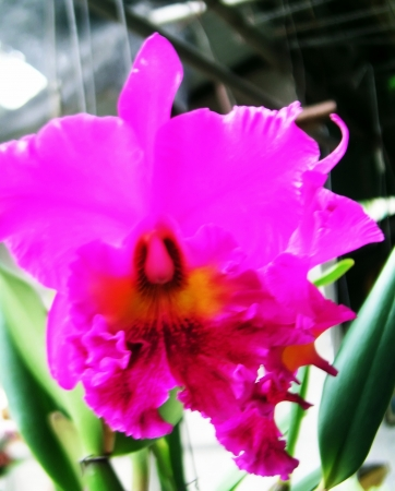 extensively: Cattleya orchid pink,