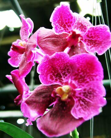 vanda: Vanda pink orchid Stock Photo