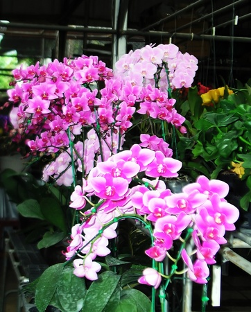vanda: Vanda orchids pink