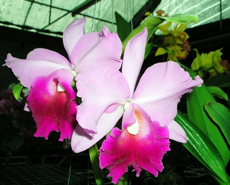 Orchid Cattleya Fuchsia pink color