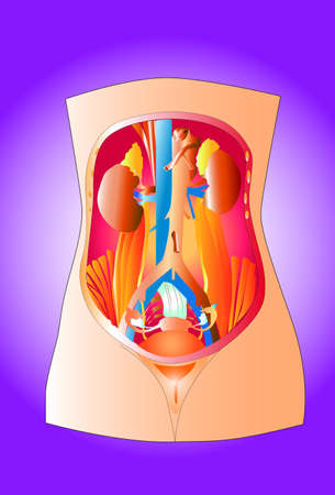 woman anatomy Stock Vector - 20241940