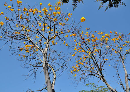 yellows: trees and yellows