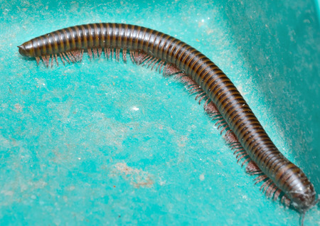millipede giant Stock Photo