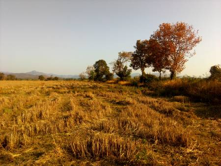 gold: Gold field farmer in Thailand