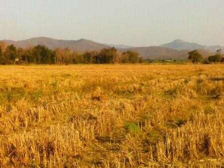 gold: Field gold farmer in Thailand Stock Photo