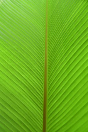 Green banana leaf textured. Banana leaf background. Nature background and wallpaper.