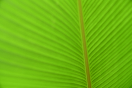 Blurred photo of green banana leaf. Banana leaf texture and background. Nature background.