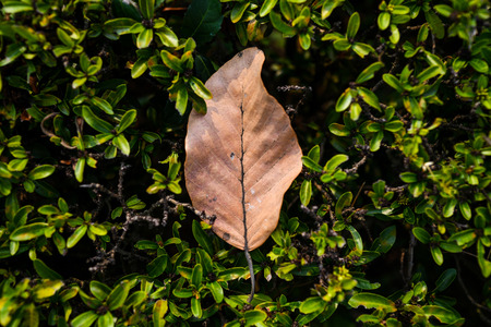 Brown dry leaf, green leaves and tree branch under the sunlight. Nature background and wallpaper.