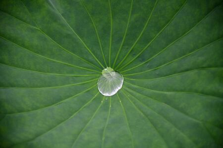 Water droplets on green lotus leaf. Lotus leaf texture and background. Zdjęcie Seryjne