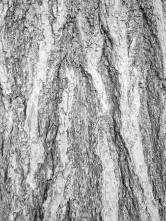Tree bark textured and background. Cracked wood texture. Nature background and wallpaper. Zdjęcie Seryjne