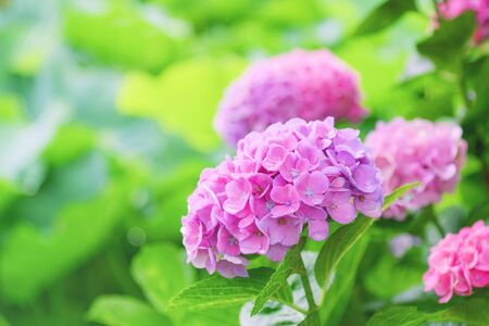Beautiful blooming pink Hydrangea or Hortensia flowers (Hydrangea macrophylla) on blur greenery background at Ueno Park, Tokyo, Japan in summer.