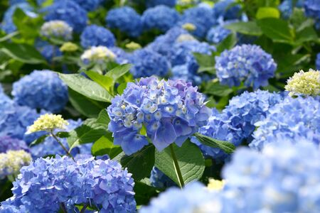 Beautiful blooming blue Hydrangea or Hortensia flowers (Hydrangea macrophylla) under the sunlight on blur background in summer.