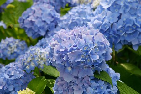 Beautiful blooming blue and purple Hydrangea or Hortensia flowers (Hydrangea macrophylla) under the sunlight on blur background in summer. Zdjęcie Seryjne