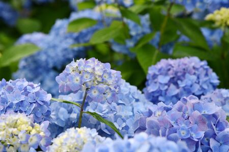 Beautiful blooming blue and purple Hydrangea or Hortensia flowers (Hydrangea macrophylla) under the sunlight on blur background in summer. Natural background. Zdjęcie Seryjne