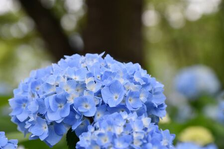 Beautiful blooming blue Hydrangea or Hortensia flowers (Hydrangea macrophylla) on blur background in summer. Natural background.