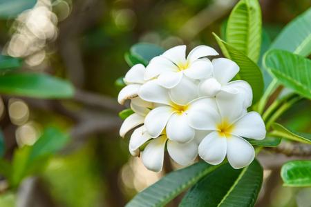 apocynaceae: Beautiful White and yellow Frangipani flowers, Apocynaceae Family