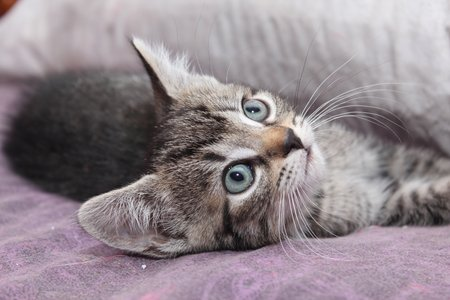 brown tabby kitten with big blue eyes stock photo picture and