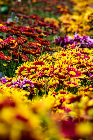 violate: Colorful red, yellow, violate, pink orange flowers blossom