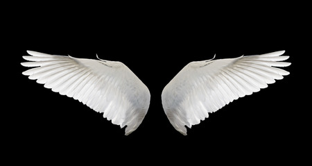 the angel of death: white wing swan isolate Stock Photo