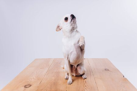 Training and caring for a chihuahua dog. Feeding a dog on a white isolated background. Foto de archivo