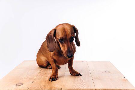 Purebred dog dachshund with shiny hair. A companion dog and a friend of man.