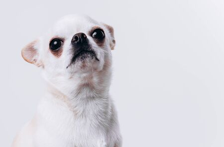 Funny portrait of a chihuahua. A dog is a friend of man. Emotional dog.