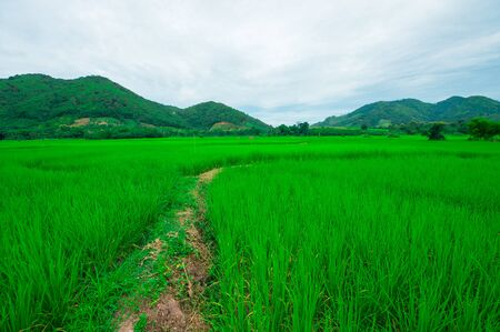 green fields: Green rice field in Thailand with mountain background