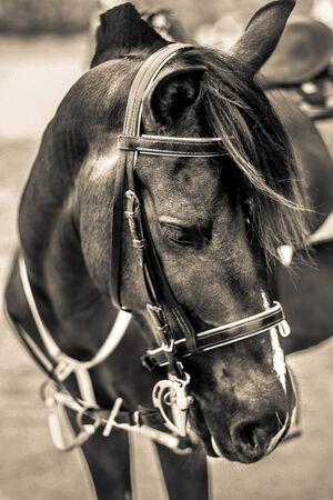 hin: horse