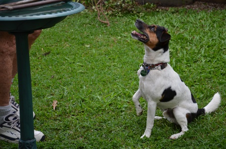 A crossed Jack Russel asked for food from his boss in the backyard photo