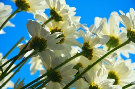 Shasta Chrysanthemum  photo
