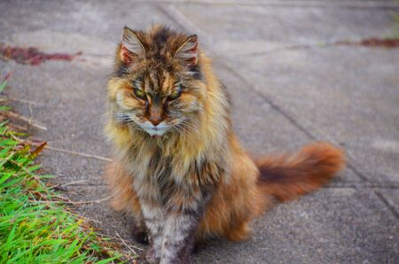 A persian cat sits on the drive way photo
