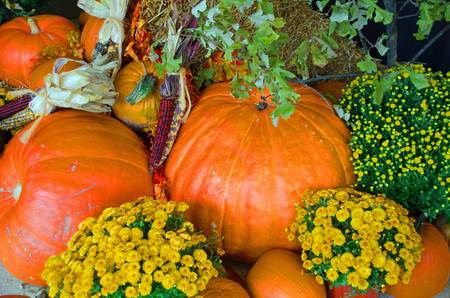 A combination of pumpkins,corn and yellow flowers as decorative corner for Halloween Stock Photo - 15794821