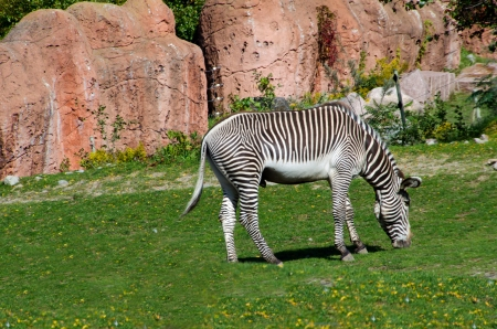 A Zebra is chewing the green grass Stock Photo