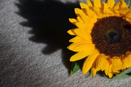 Sun flower and the shadow
