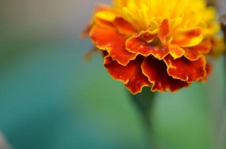 Close up marigold