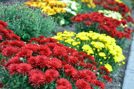 Beautiful city garden ;Shasta Chrysanthemum  photo