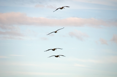 The pelicans are flying up in the air Stock Photo