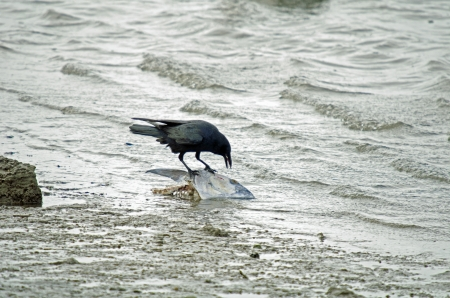 A crow is eating a dead fish on the beach photo