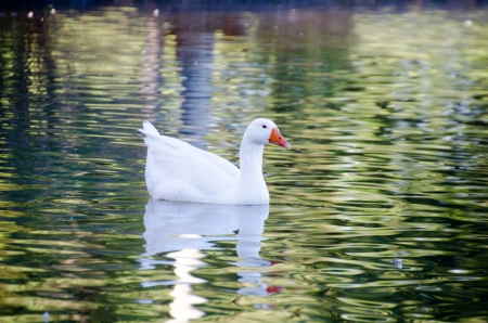 A white goose is swimming in the canal photo