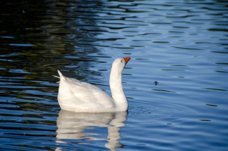 red cross red bird: A white goose is swimming in the canal
