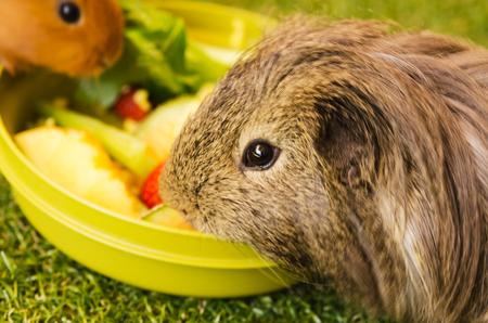 Guinea pigs are having dinner Stock Photo