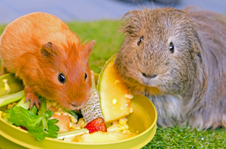 increase fruit: Guinea pigs are having dinner Stock Photo