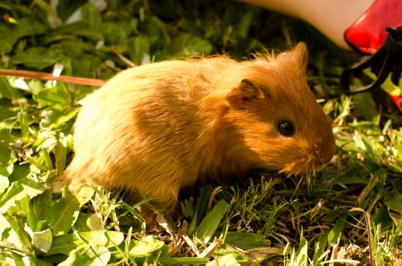A young guinea pig enjoys his time outside the cage