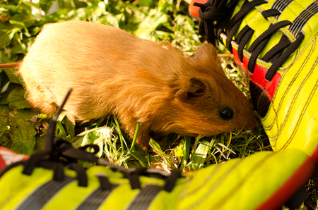 increase fruit: A young guinea pig enjoys his time outside the cage