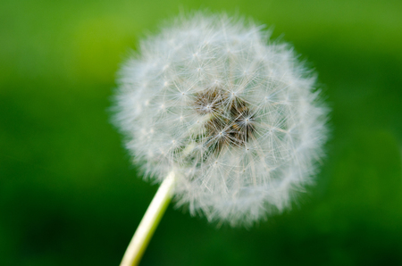 spread around: Dandelion seeds ready to spread around