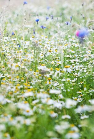 Field of daisy flowers photo