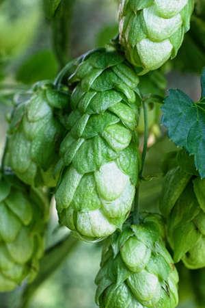 hop cones: Ripe green hop cones
